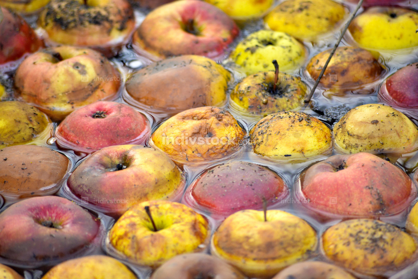 Rotten disgusting apple in a flowing water