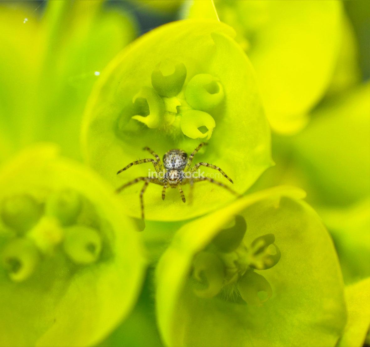 spider on a spring flower close up