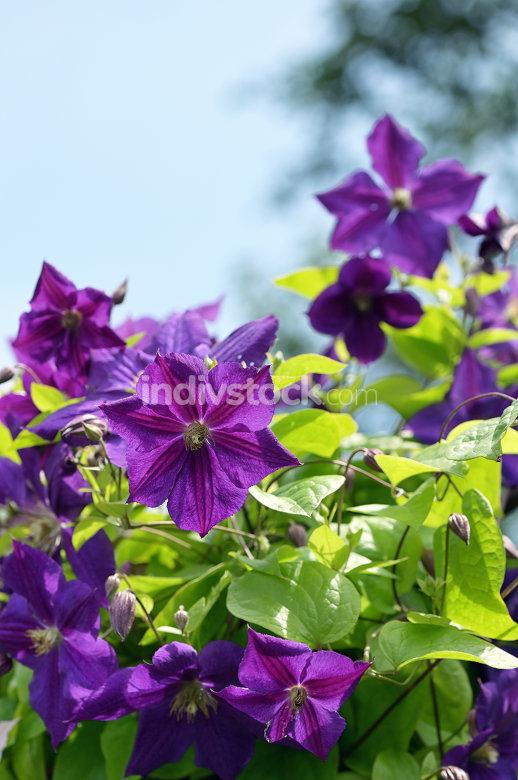 Violet Clematis flowers