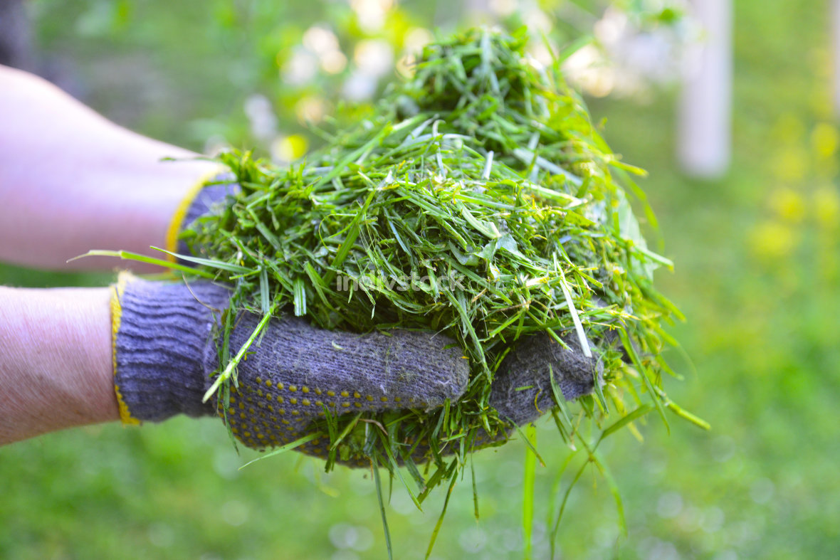 womah with protective gloves holding fresh mowed grass in hands, image