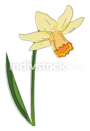 Beautiful narcissus flower vector or color illustration