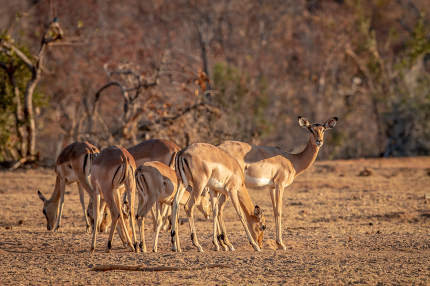 a small herd of Impalas in the Welgevonden game reserve, South Africa
