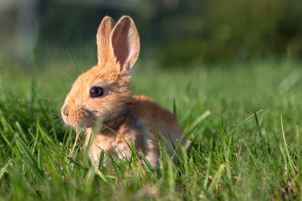 a baby bunny rabbit playing on green grass