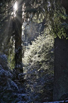 a dense needle forest in winter