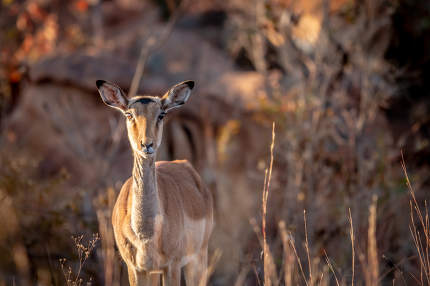 a young female Impala in the Welgevonden game reserve, South Africa