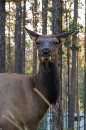 American elk, Cervus canadensis