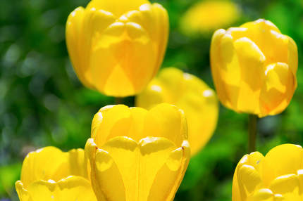 Blooming yellow tulips
