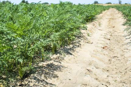Carrots in big farmland. Irrigation hoses in carrot plantation.