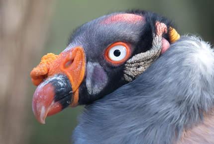 Close-up view King vulture Sarcoramphus papa, selective focus