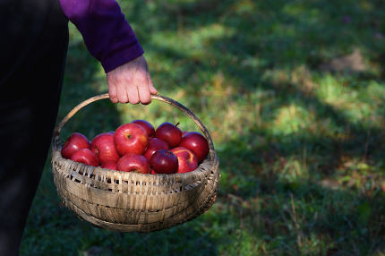 Farmer's Hands Hold A Large Basket Full Of Ripe Apples