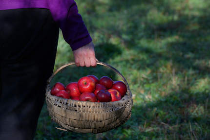 Farmer's Hands Hold A Large Basket Full Of Ripe Red Apples
