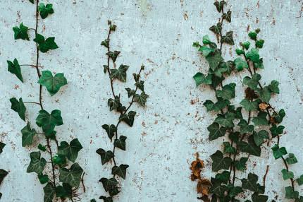 green climbing plants on a house wall