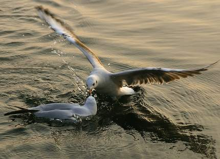 gulls on the water