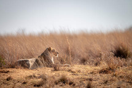 Lioness lying in the high grass in the Welgevonden game reserve, South Africa