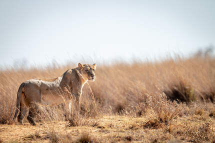 Lioness scanning the surroundings in the Welgevonden game reserve, South Africa
