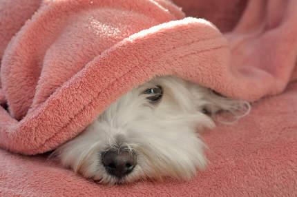 Maltese dog under blanket