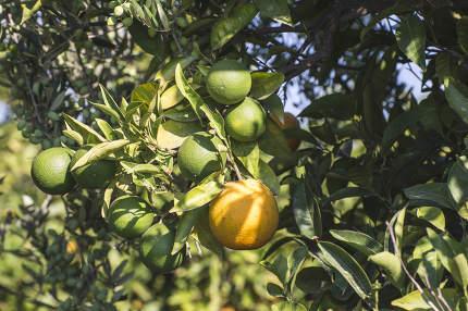 Oranges on a branch. Orange trees in plantation. Greece