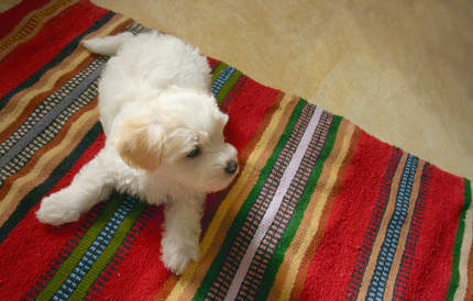 Puppy Maltezer Dog Laying On Carpet