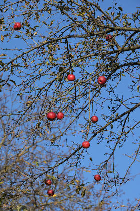 Red Ripe Apples On An Apple Tree