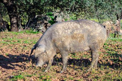 side portrait of pig in field