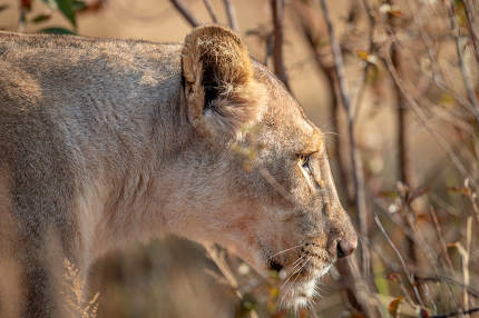 Side profile of a Lioness in the bush.