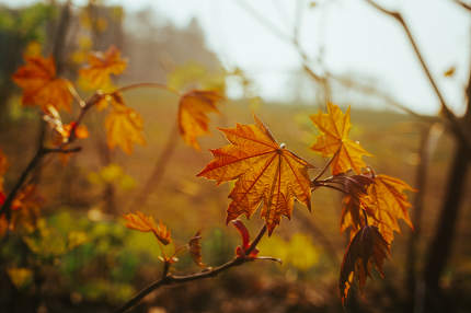single maple leaves on branches