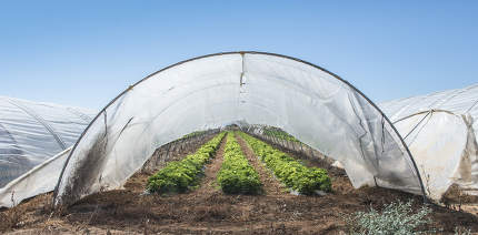 Strawberries in green house