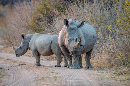 two White rhinos standing on a bush road, South Africa