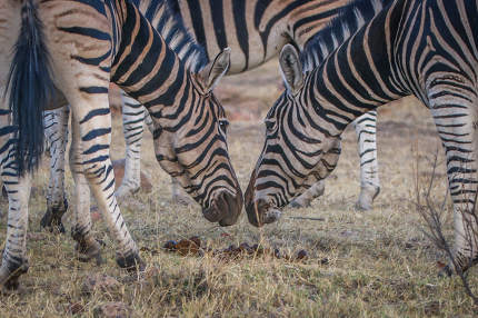 Two Zebras smelling each other in the Welgevonden game reserve, South Africa