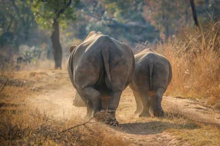 White rhinos walking on the road.