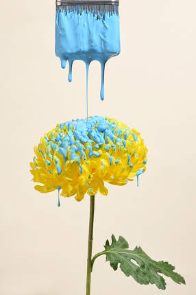 Yellow Chrysanthemum With Drops Of Blue Paint