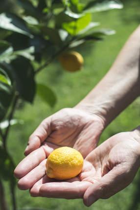 Young lemon tree and fruit