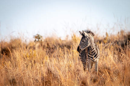Young Zebra standing in the high grass Welgevonden game reserve, South Africa