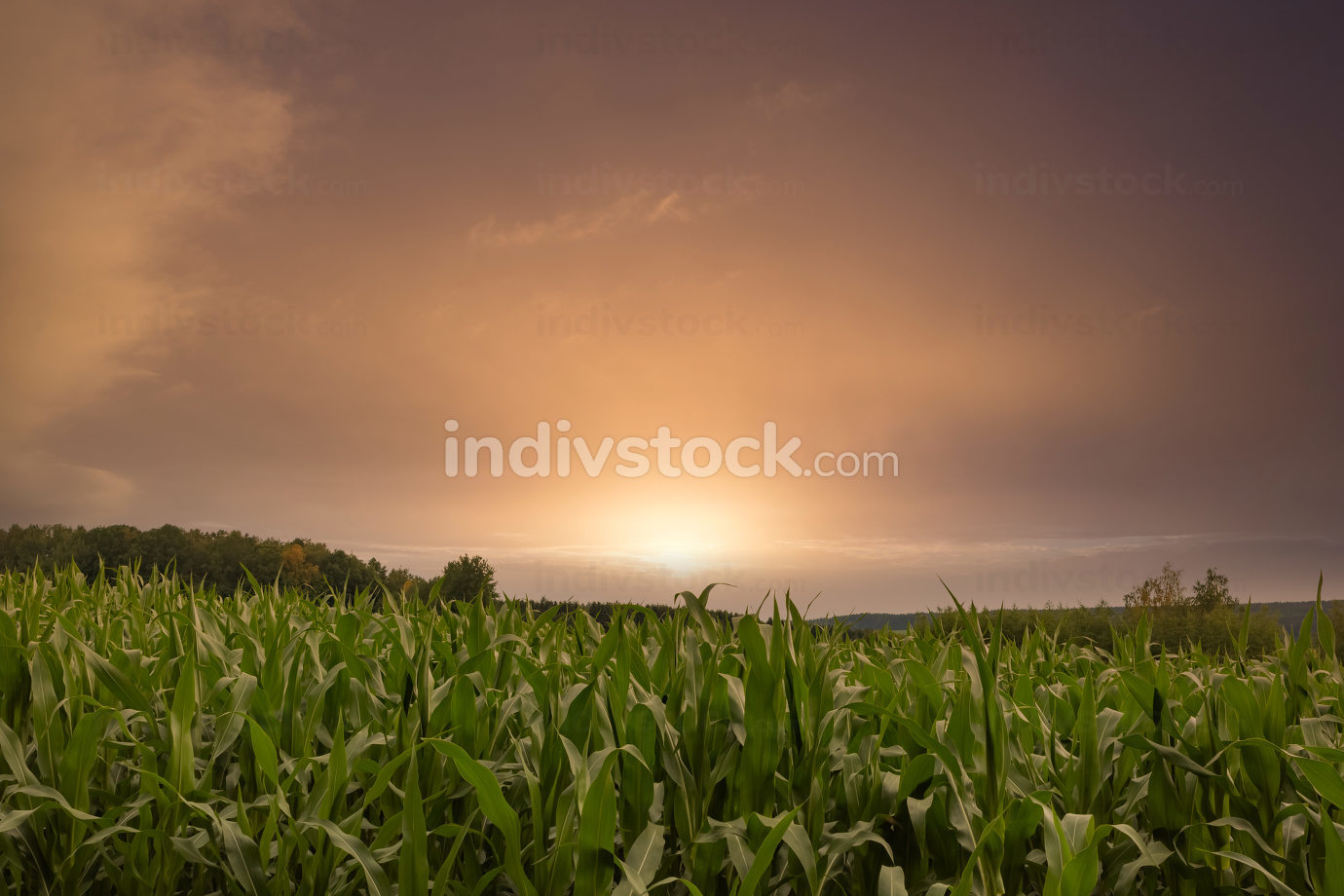 a green corn field in summer in the sunset