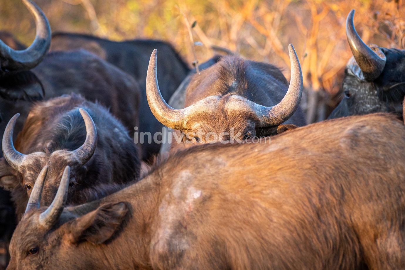 African buffalo hiding behind another buffalo.