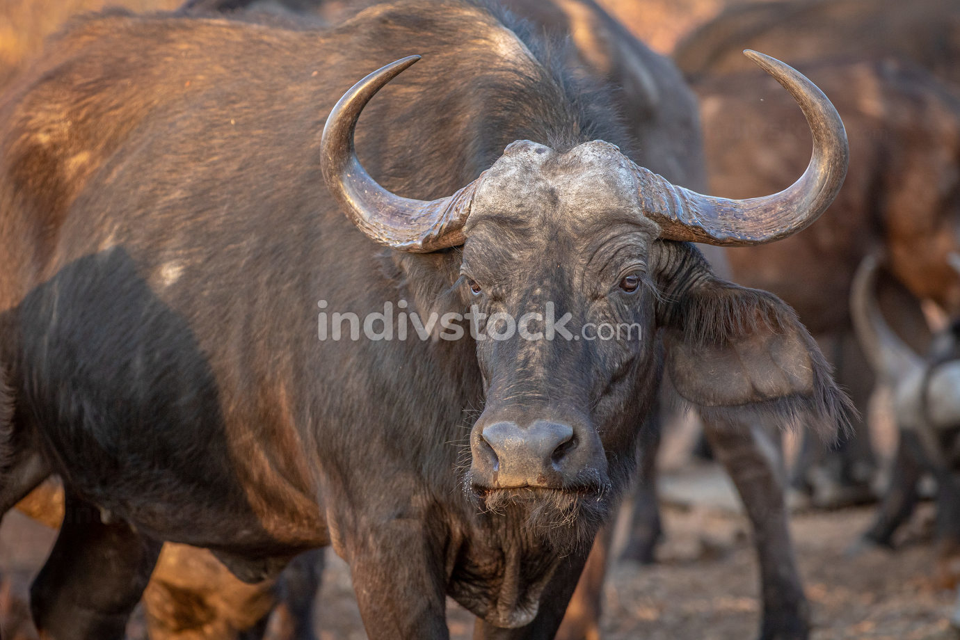 African buffalo starring at the camera.