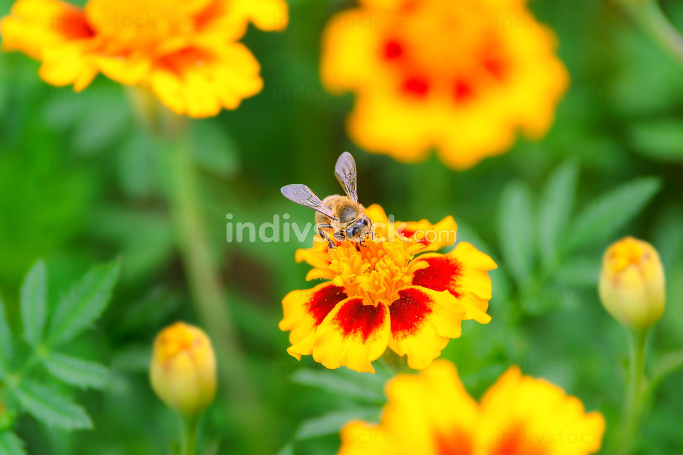 Bee on a calendula flower in close-up