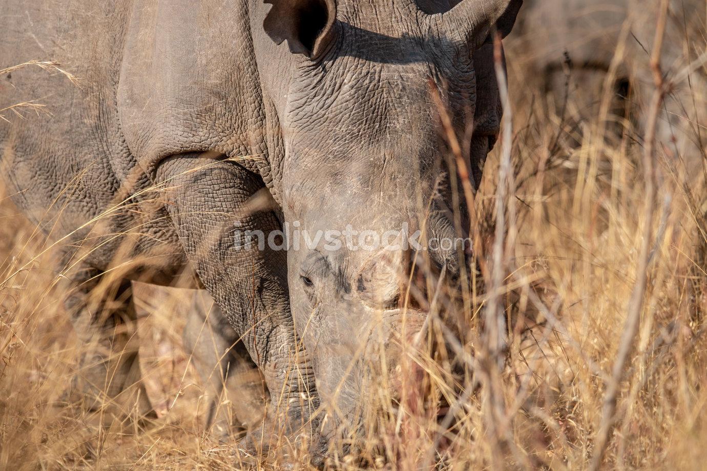 Big White rhino grazing in the high grass.