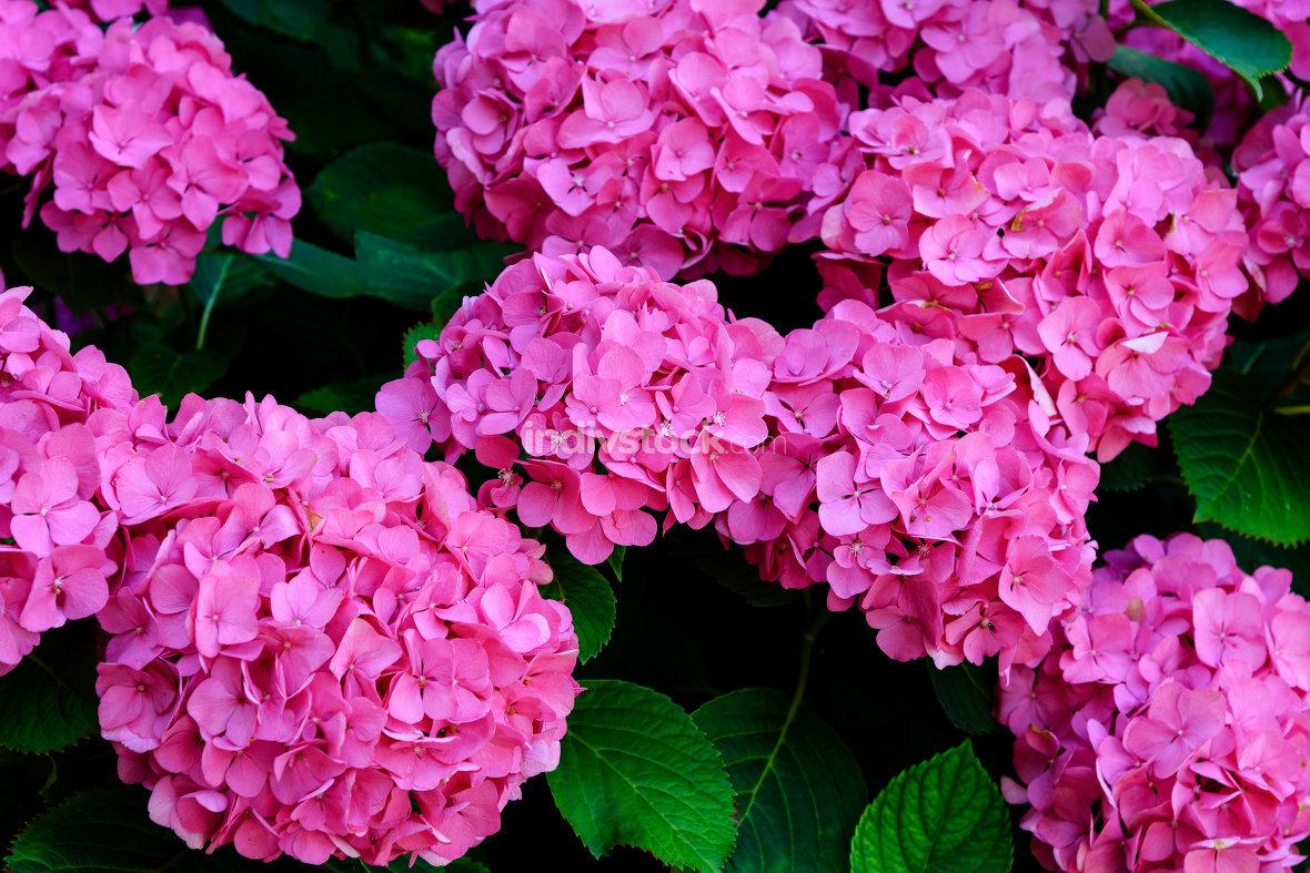 Blooming Hydrangea flowers