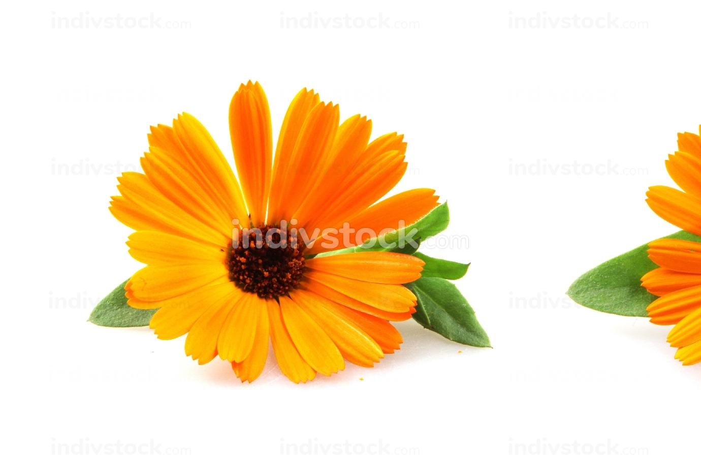 blossoming yellow marigold