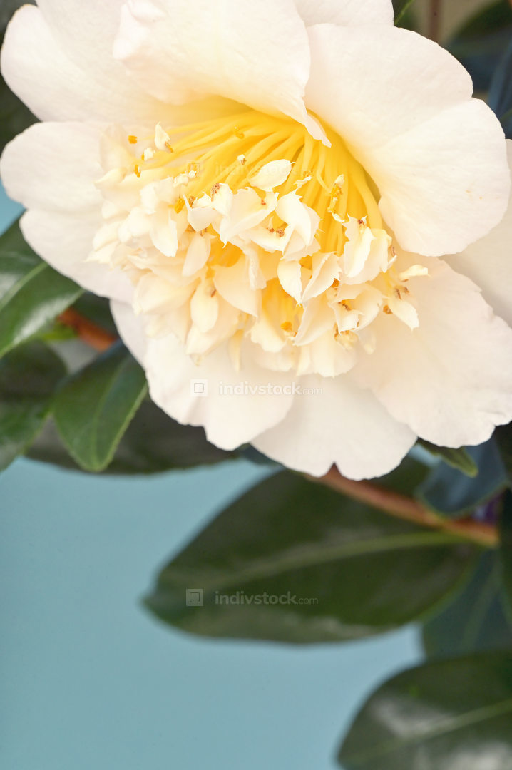 Camellia Branch With Flower