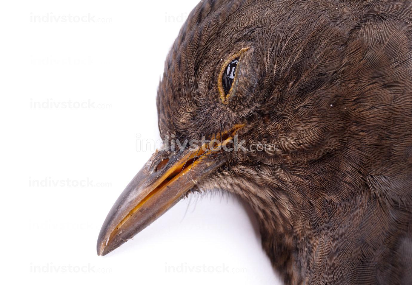 Dead blackbird isolated