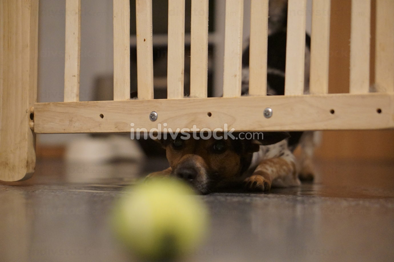 free download: small young dog indoor, looks under the barrier gate, Jack Russel
