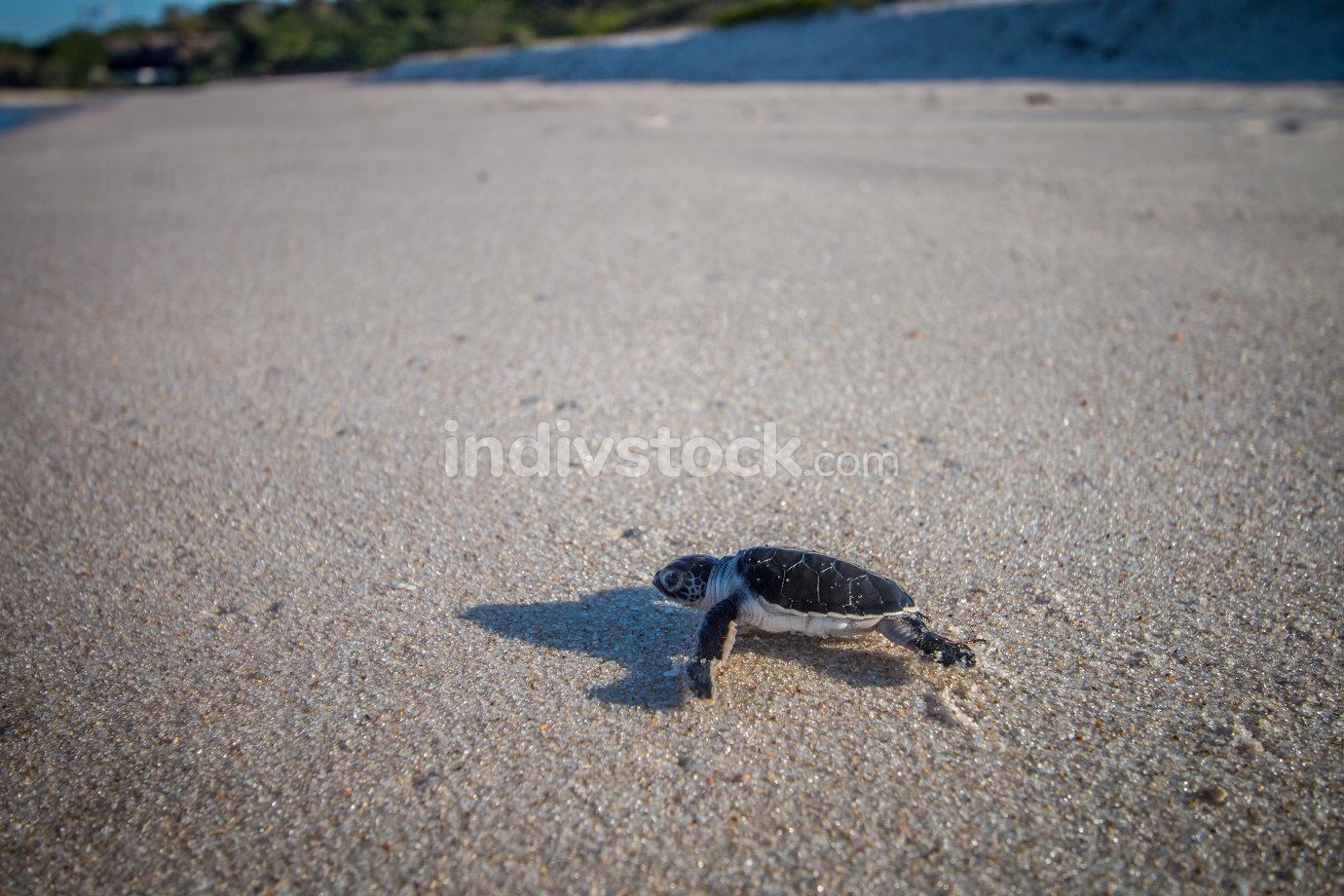 Green sea turtle hatchling on the beach on the Swahili Coast, Tanzania