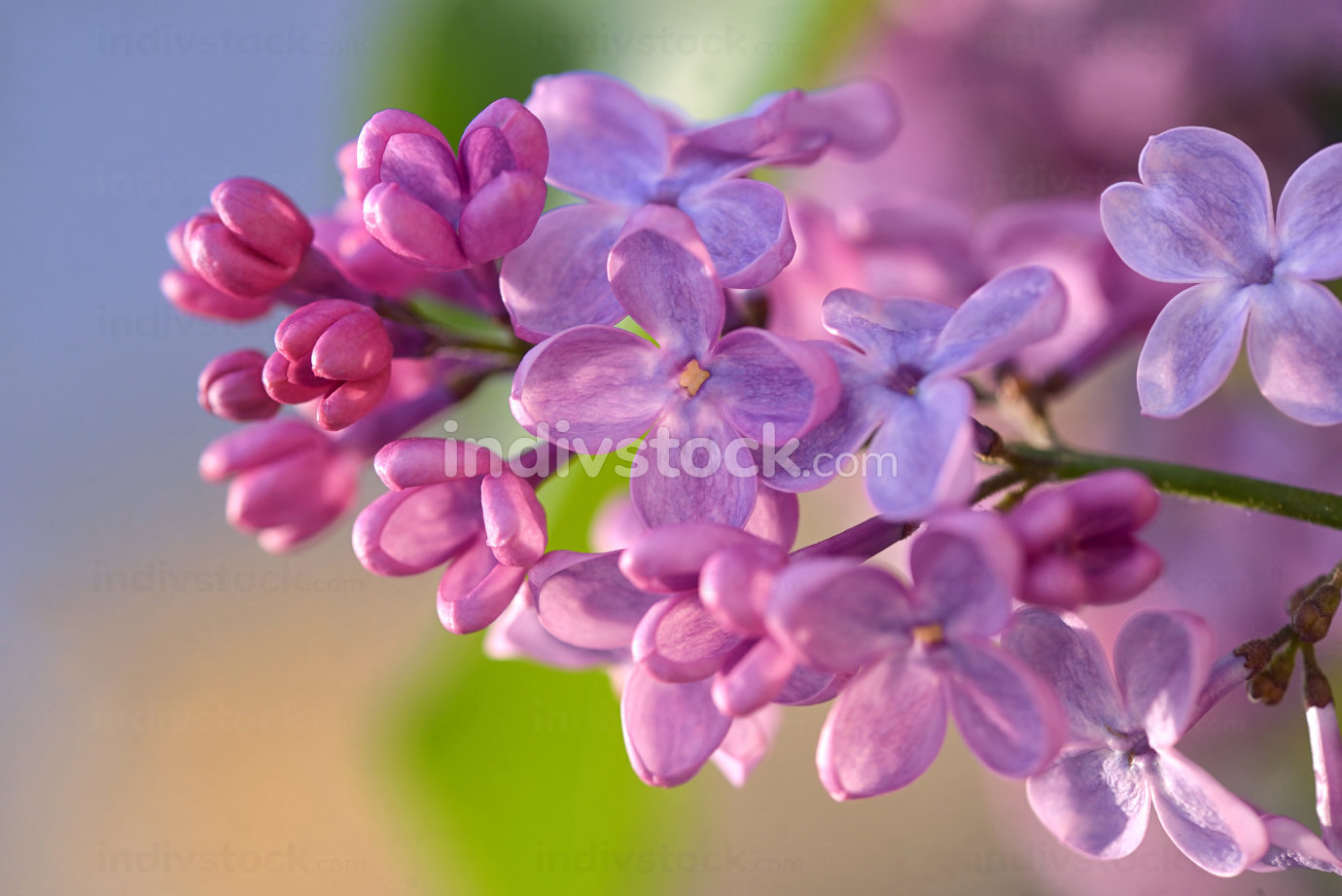 Macro of spring lilac violet flowers