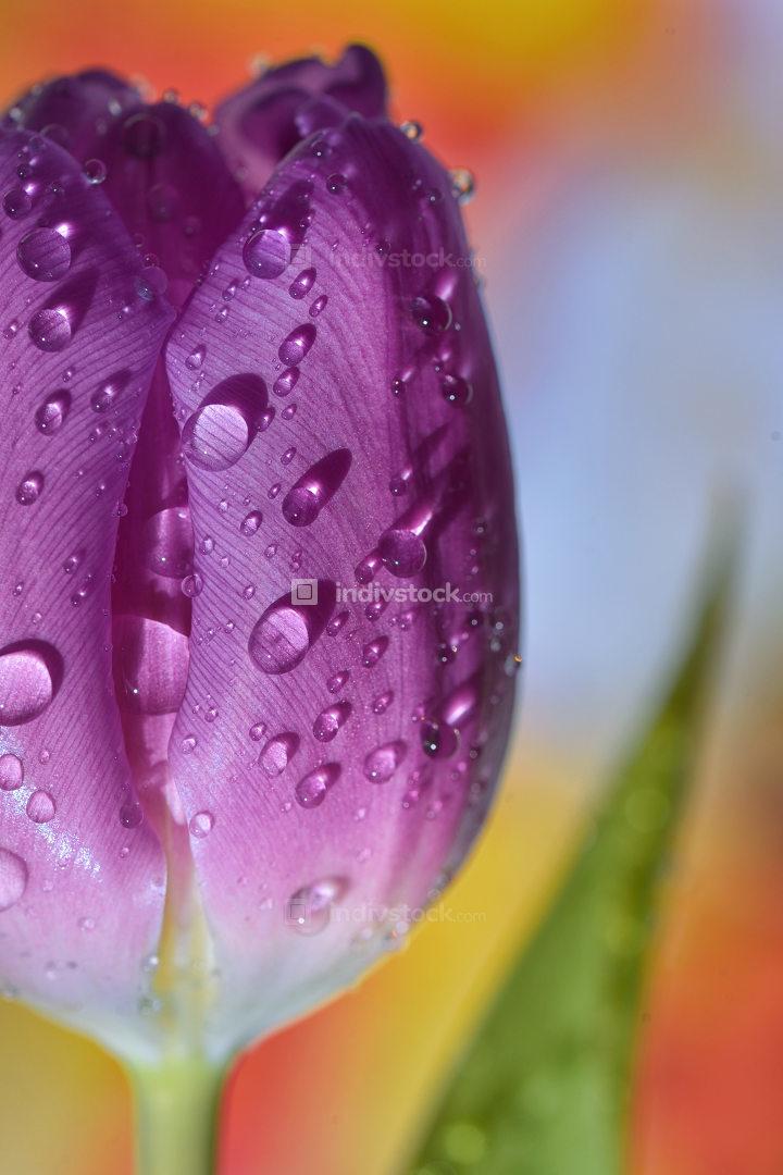 Macro tulips with dew drops