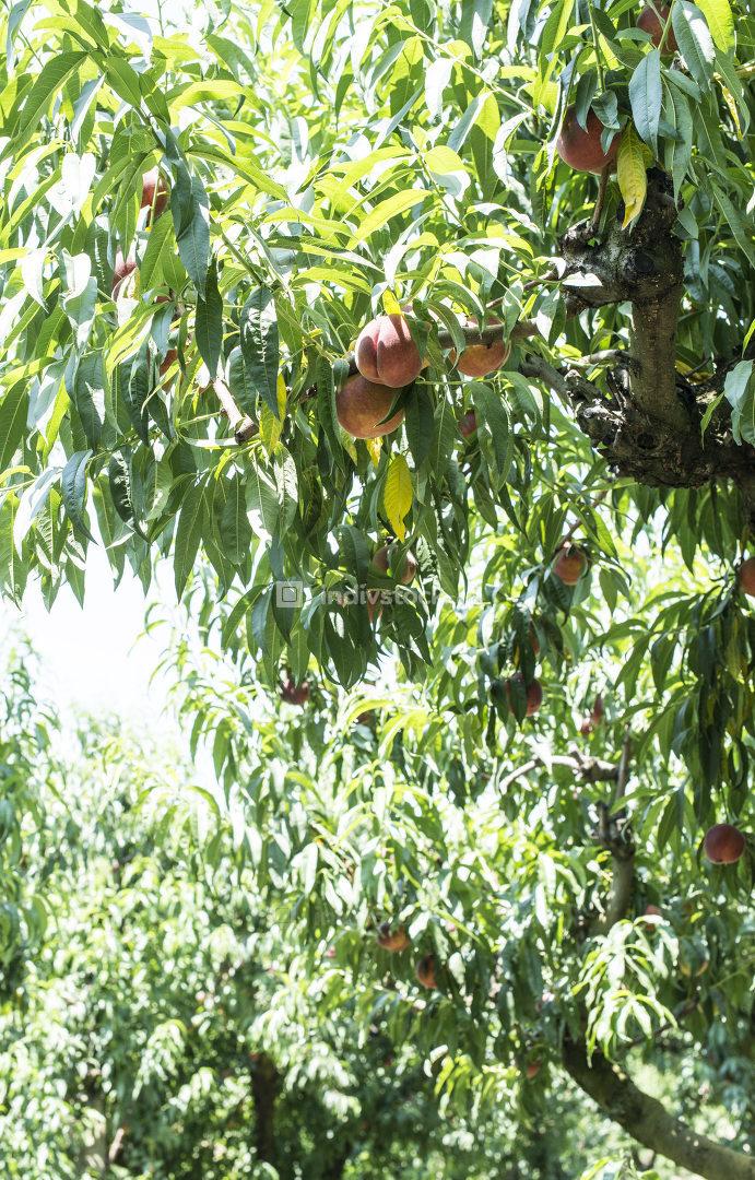 Peaches tree