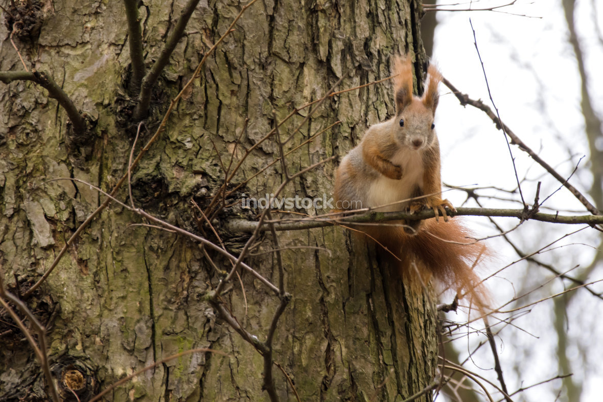 redhead squirrel on a tree branch looking at the camera
