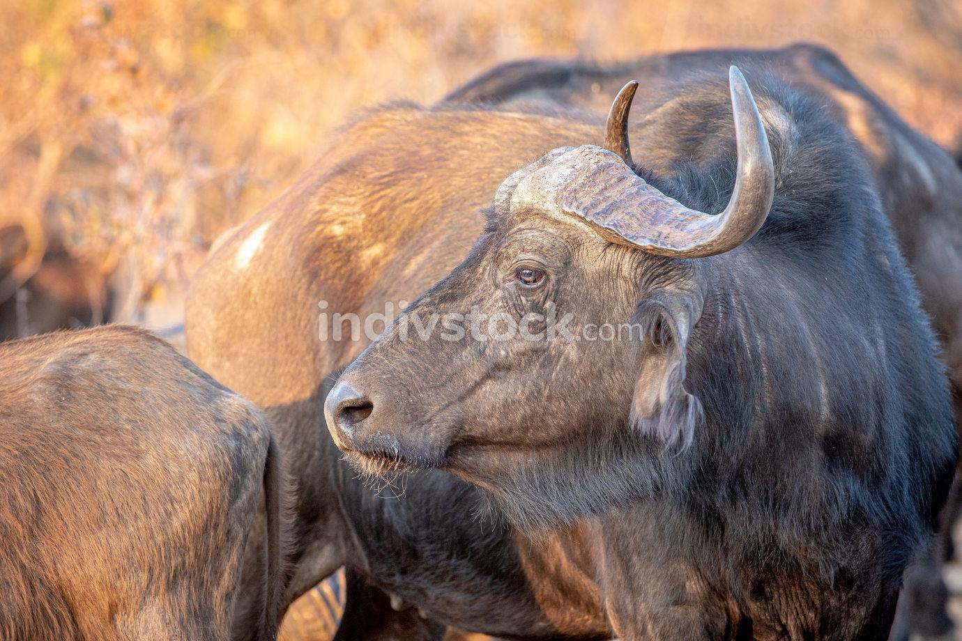 Side profile of an African buffalo.