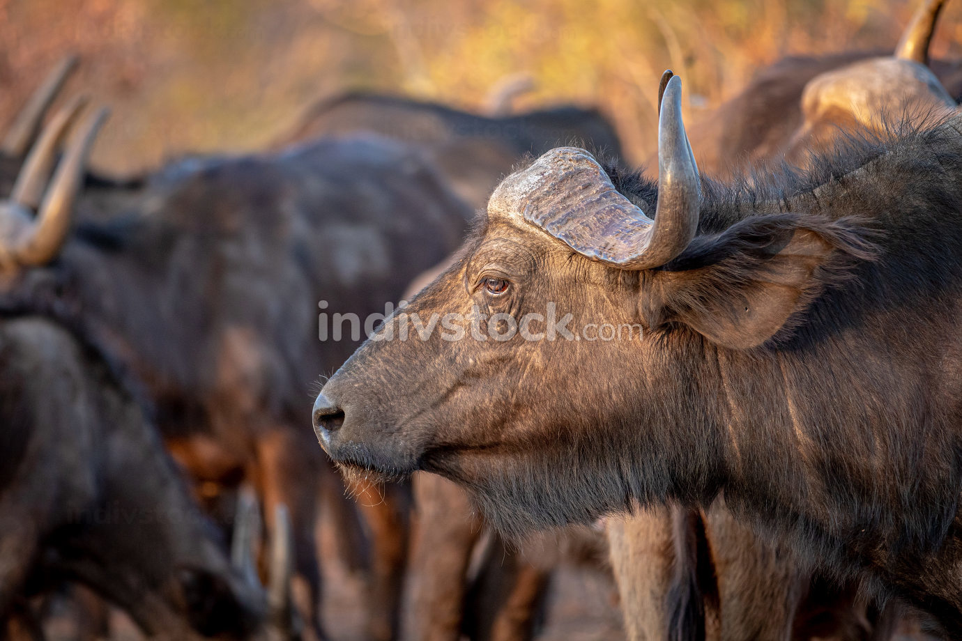 Side profile of an African buffalo in the Welgevonden game reserve, South Africa